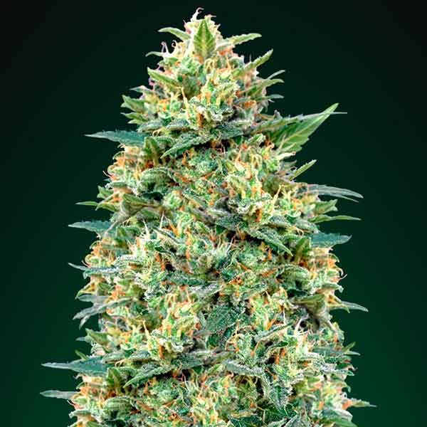 Auto White Widow - 5 seeds - 00 Seeds - Seed Banks