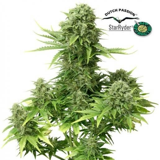 AUTO STAR RYDER  - Dutch Passion - Seed Banks