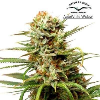 AUTO WHITE WIDOW  - Dutch Passion - Seed Banks