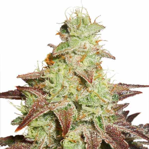Auto Night Queen - Dutch Passion - Seed Banks