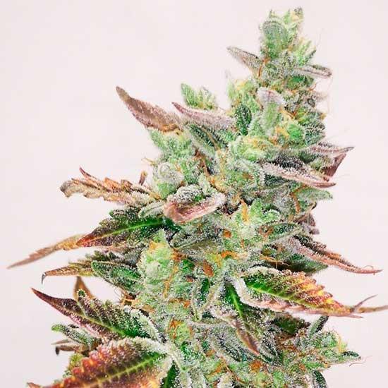 Banana Purp - Medical Seeds - Seed Banks