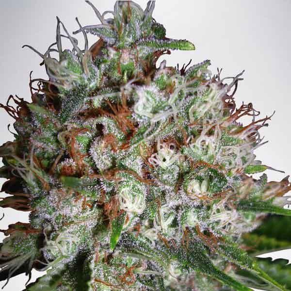 Big Bud XXL - Ministry of Cannabis - Seed Banks