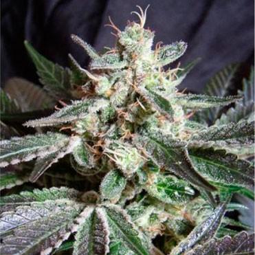 Black Buddha  - 5 seeds - Sagarmatha - Seed Banks
