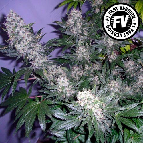 BLACK JACK FAST VERSION - Sweet Seeds - Seed Banks