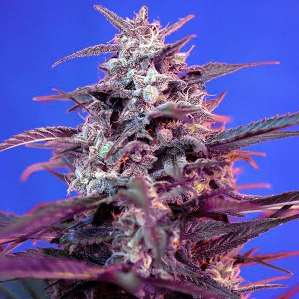 BLOODY SKUNK AUTO - Sweet Seeds - Seed Banks