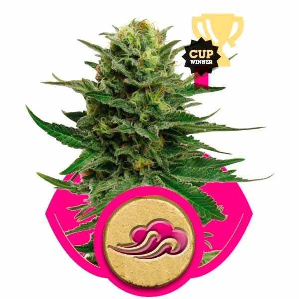 BLUE MYSTIC - Royal Queen Seeds - Seed Banks
