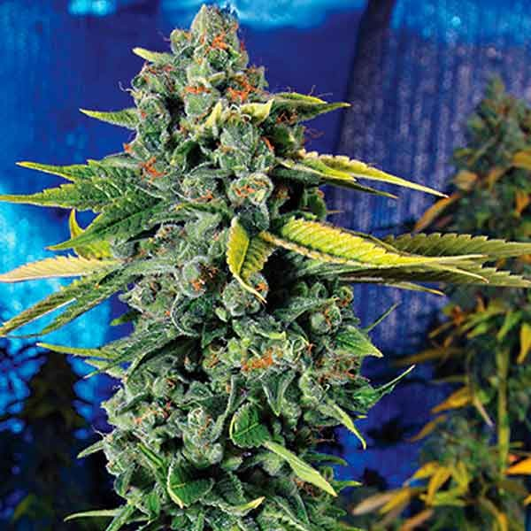 Blue Dream Haze - 6 seeds - The Cali Connection - Seed Banks