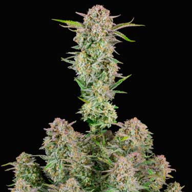 Bruce Banner Auto - FastBuds - Seed Banks