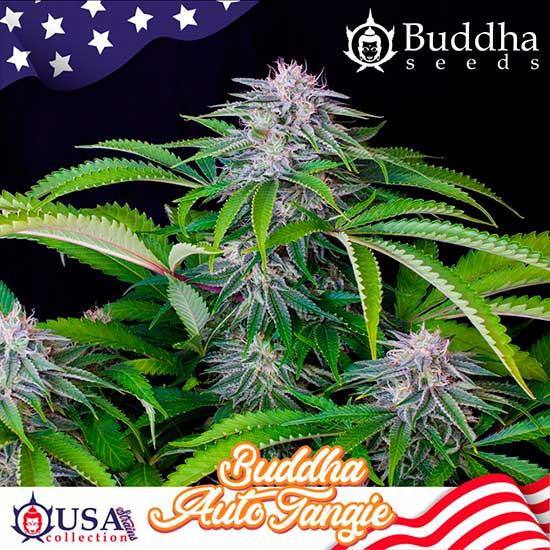 BUDDHA AUTO TANGIE - Buddha Seeds - Seed Banks