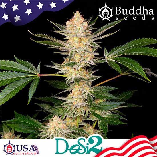 BUDDHA DOSI2 - Buddha Seeds - Seed Banks