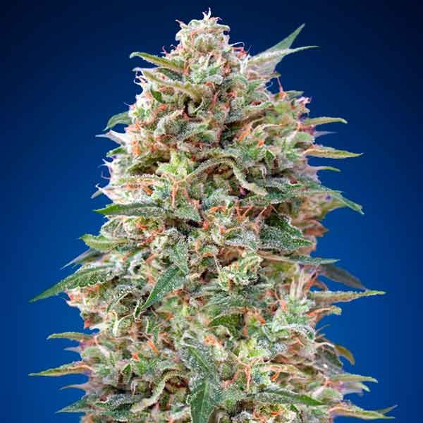 California Kush - 5 seeds - 00 Seeds - Seed Banks