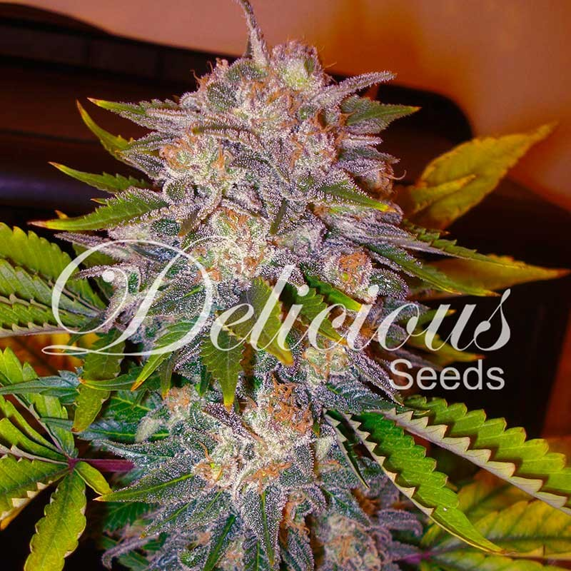 Caramelo - Delicious Seeds - Seed Banks