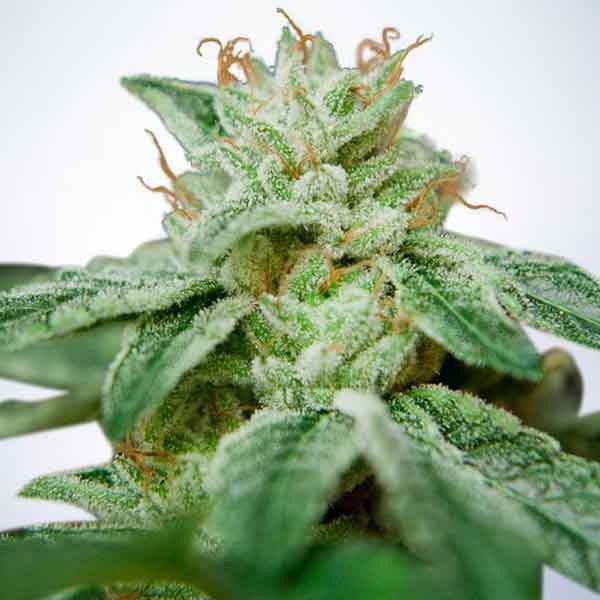 CBD Star - Ministry of Cannabis - Seed Banks