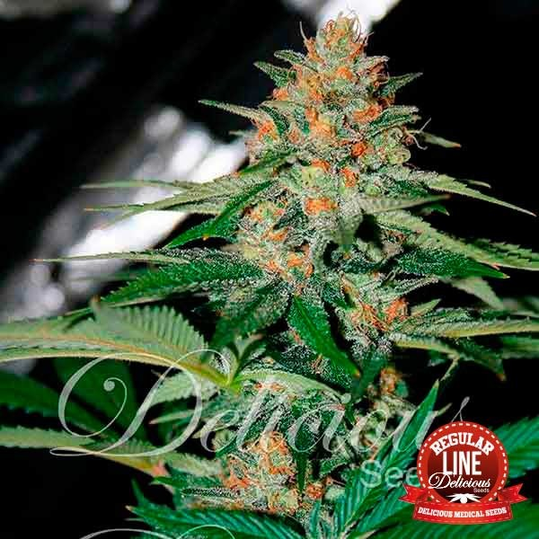 Delicious Candy Regular - Delicious Seeds - Seed Banks
