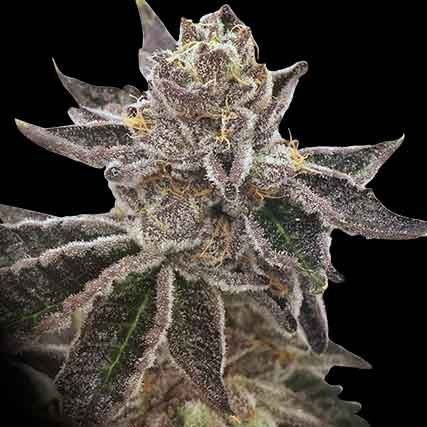 Cookie OX - 12 seeds - Rare Dankness - Seed Banks