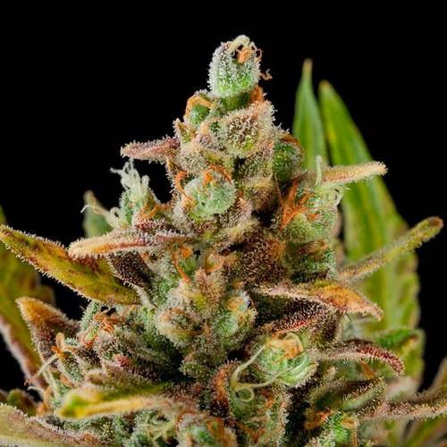 CRITICAL KUSH - Dinafem - Seed Banks