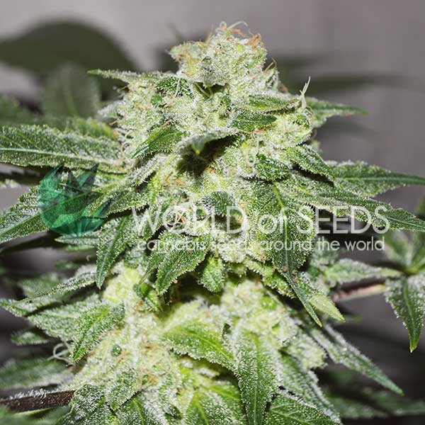 Chronic Haze - World of Seeds - Seed Banks