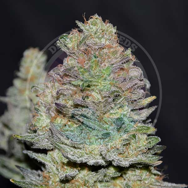 Delicious Cookies Auto - Delicious Seeds - Seed Banks