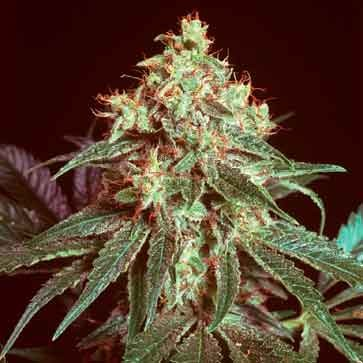 Devil - 15 seeds - Mr. Nice - Seed Banks