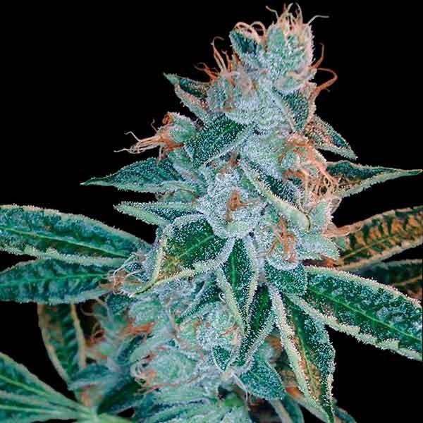 Lemon OG Kush - DNA genetics - Seed Banks