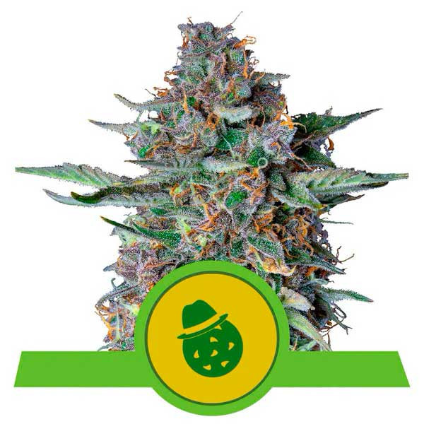 Do-Si-Dos Automatic - Royal Queen Seeds - Seed Banks