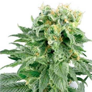 DOUBLE GUM REGULAR - Sensi White Label - Seed Banks