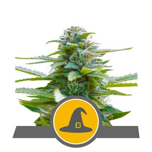 Exotic Witch Regular - Royal Queen Seeds - Seed Banks