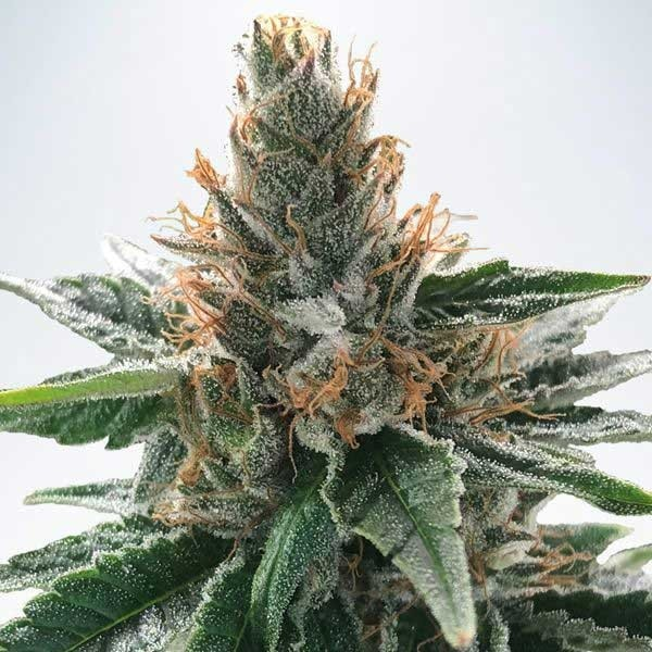 GOD'S GLUE - Ministry of Cannabis - Seed Banks