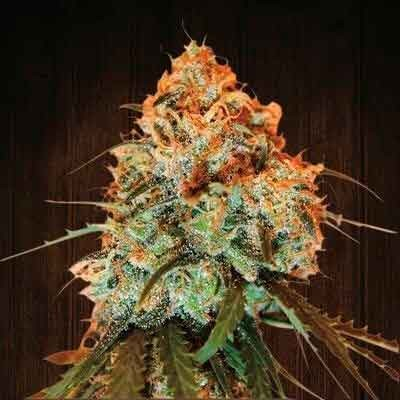 Golden Tiger regular - 5 seeds - Ace Seeds - Seed Banks