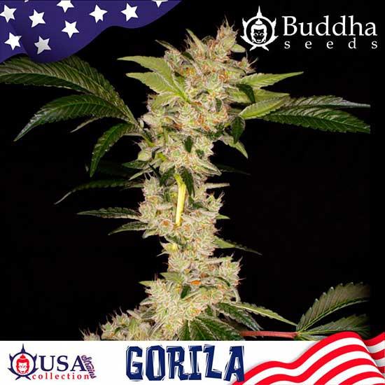 GORILA - Buddha Seeds - Seed Banks