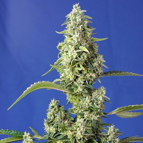 Gorilla Girl XL Auto - Sweet Seeds - Seed Banks