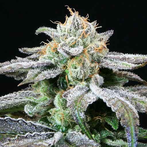 Grape Inferno - 5 seeds  - TGA Subcool - Seed Banks