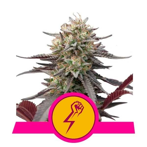 Green Crack Punch - Royal Queen Seeds - Seed Banks
