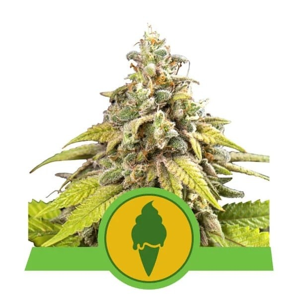 Green Gelato Automatic - Royal Queen Seeds - Seed Banks