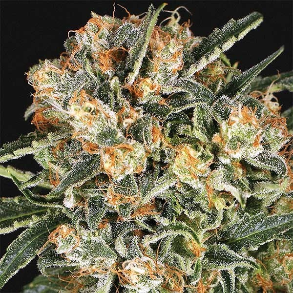 HIPPIE THERAPY CBD - Exotic Seed - Seed Banks