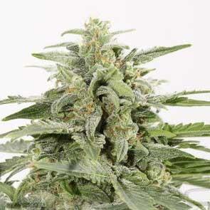 Industrial Plant Autoflowering CBD - Dinafem - Seed Banks