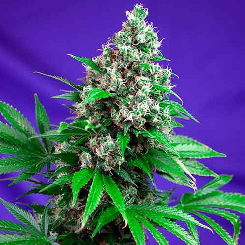 Killer Kush Fast Version - Sweet Seeds - Seed Banks