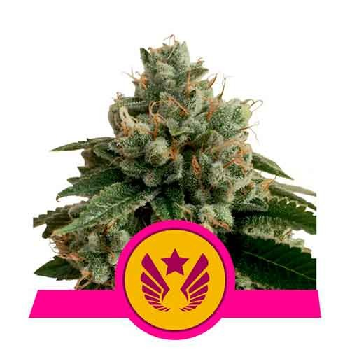 Legendary Punch - Royal Queen Seeds - Seed Banks