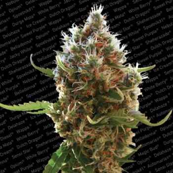 LUCID BOLT - Paradise Seeds - Seed Banks