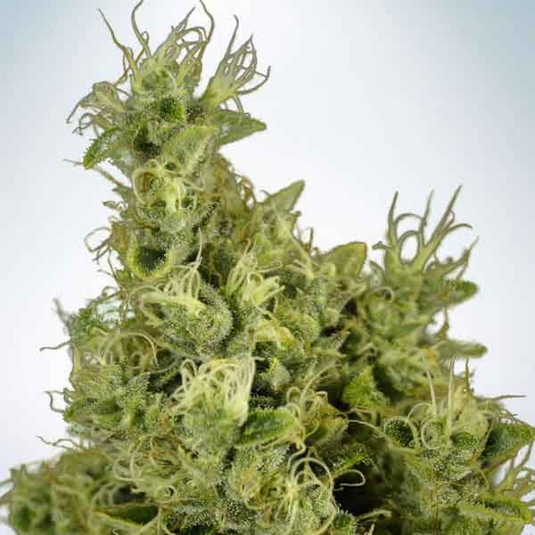 Mandarin Haze - Ministry of Cannabis - Seed Banks