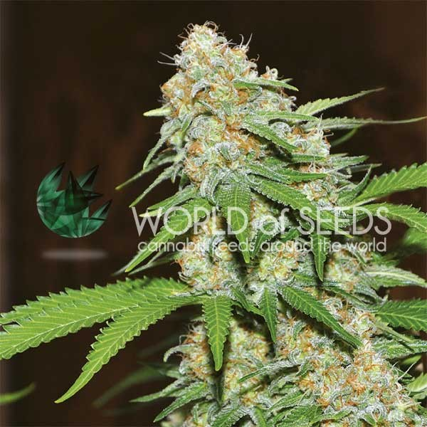 Mazar x White Rhino - World of Seeds - Seed Banks