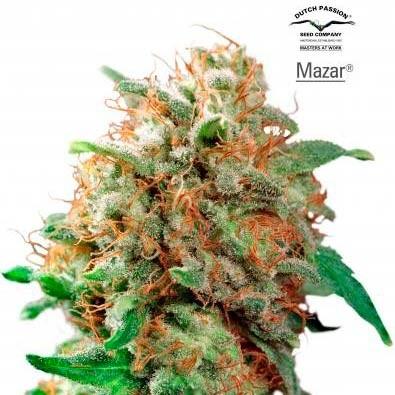 Mazar - Dutch Passion - Seed Banks