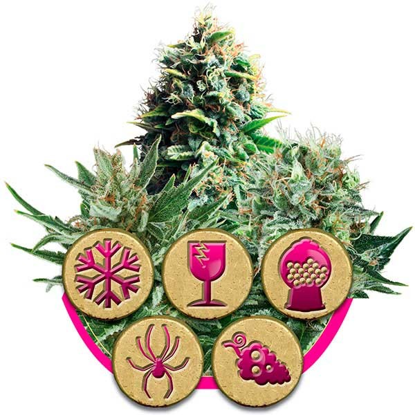 Feminized Mix - Royal Queen Seeds - Seed Banks
