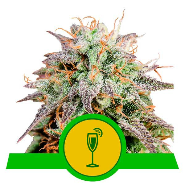 Mimosa Automatic - Royal Queen Seeds - Seed Banks