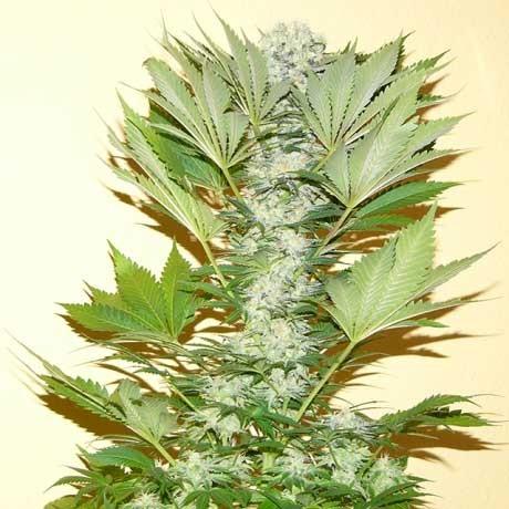 Misty Kush Fem 5 Seeds - Nirvana - Seed Banks