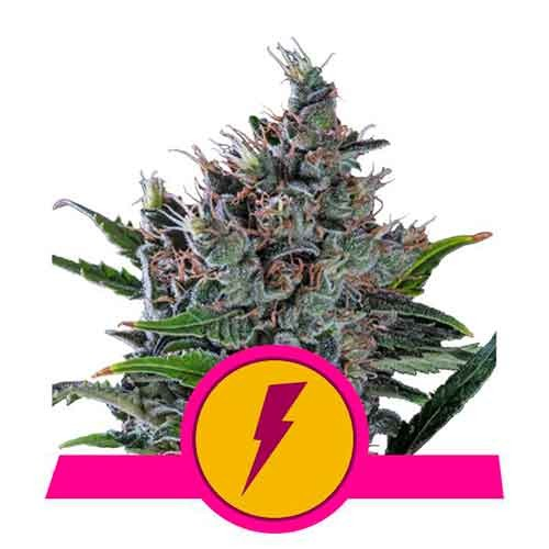 North Thunderfuck - Royal Queen Seeds - Seed Banks
