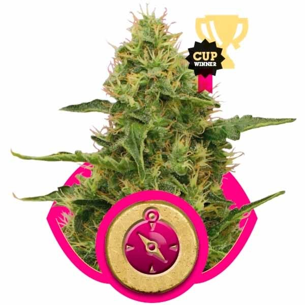 NORTHERN LIGHT - Royal Queen Seeds - Seed Banks