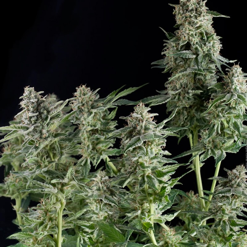 Northern Lights CBD - Pyramid Seeds - Seed Banks