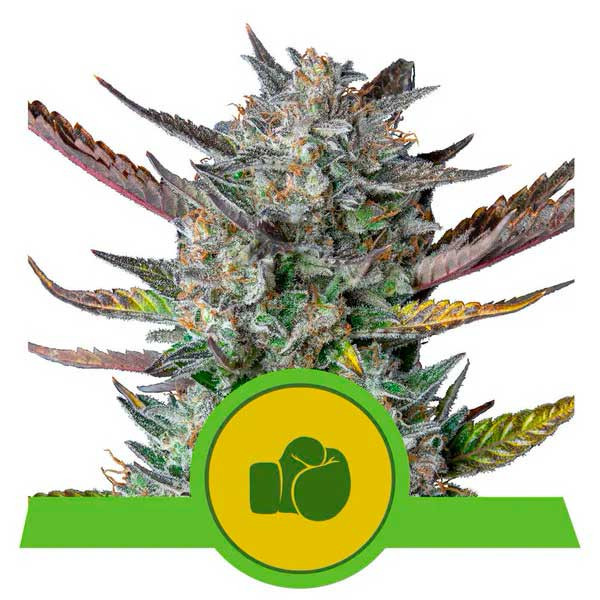 Purple Punch Automatic - Royal Queen Seeds - Seed Banks