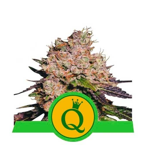 Purple Queen Automatic - Royal Queen Seeds - Seed Banks